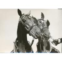 Para koni holenderskich, 1975 r.